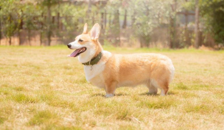 Are Corgis Born With Tails?